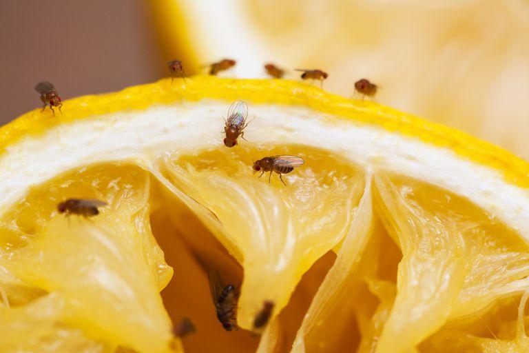 fruit fly control Dubai