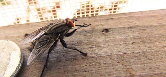 Natural ways to get rid of houseflies